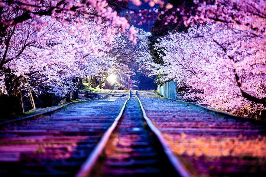 21-plus-belles-photos-de-cerisiers-en-fleurs-japon-2014-4